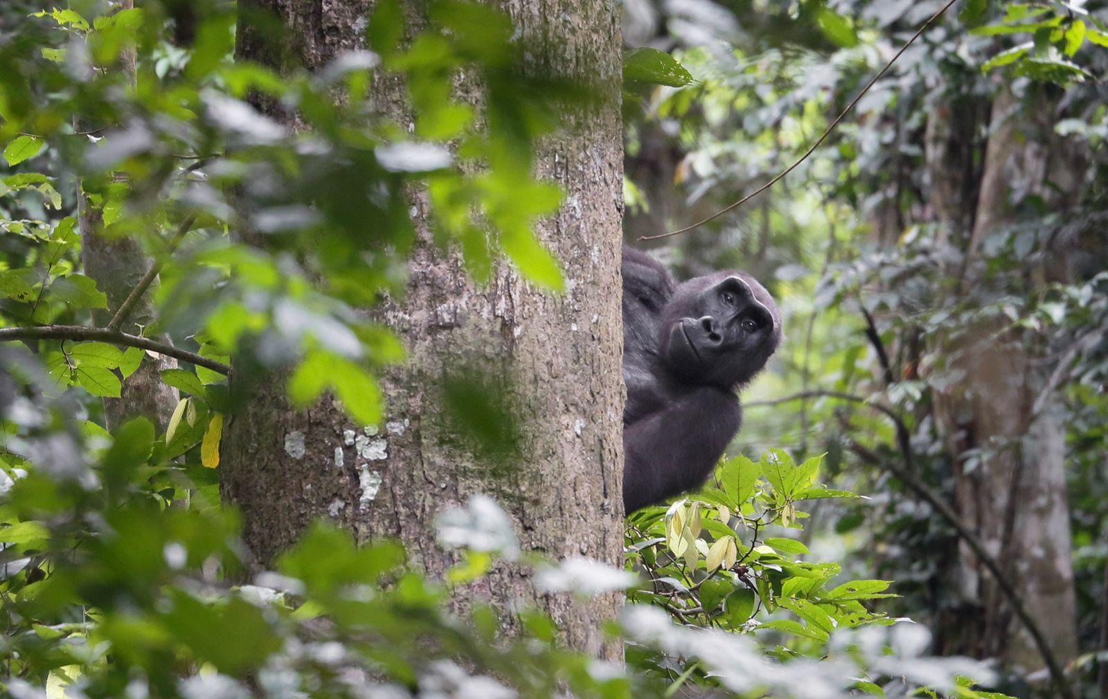 Gorille, Gabon. Parc national Moukalaba-Doudouk