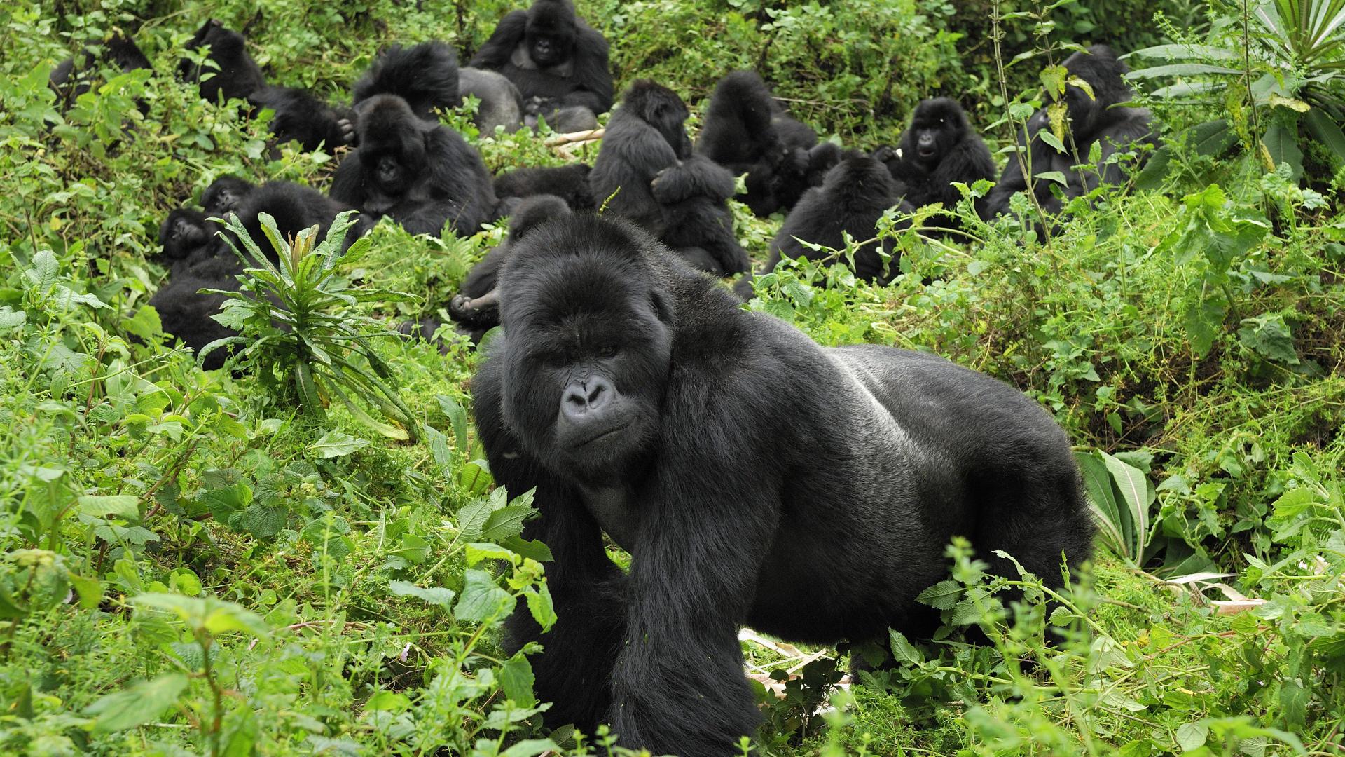 Gorilles dans le Parc national des Volcans, Rwanda