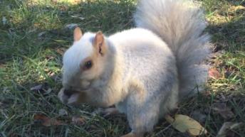 Écureuil albinos