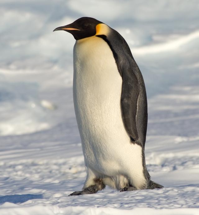 Manchot empereur en Antarctique