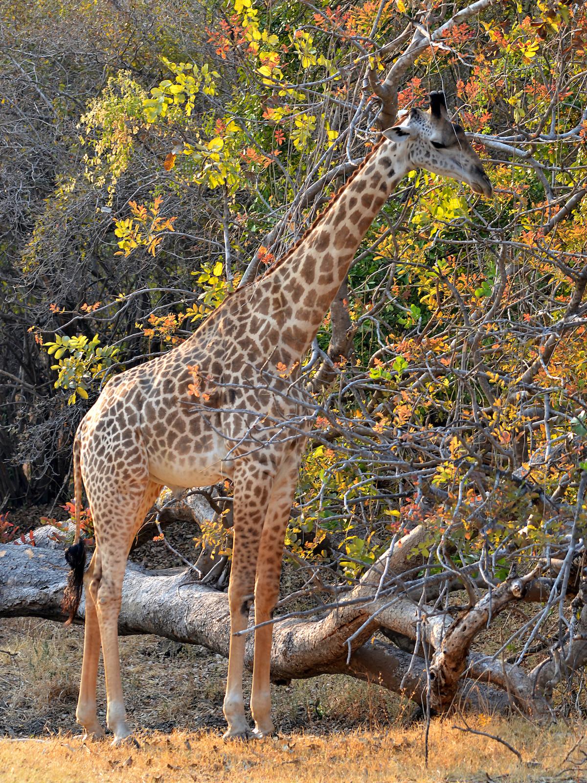 Zambie - girafe