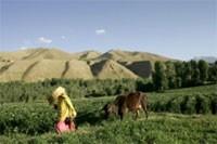 Afghanistan : le lait pour contrer le pavot