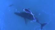 Baleines et dauphins nagent ensemble