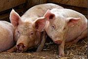 Grippe porcine mexicaine : hausse du niveau d'alerte